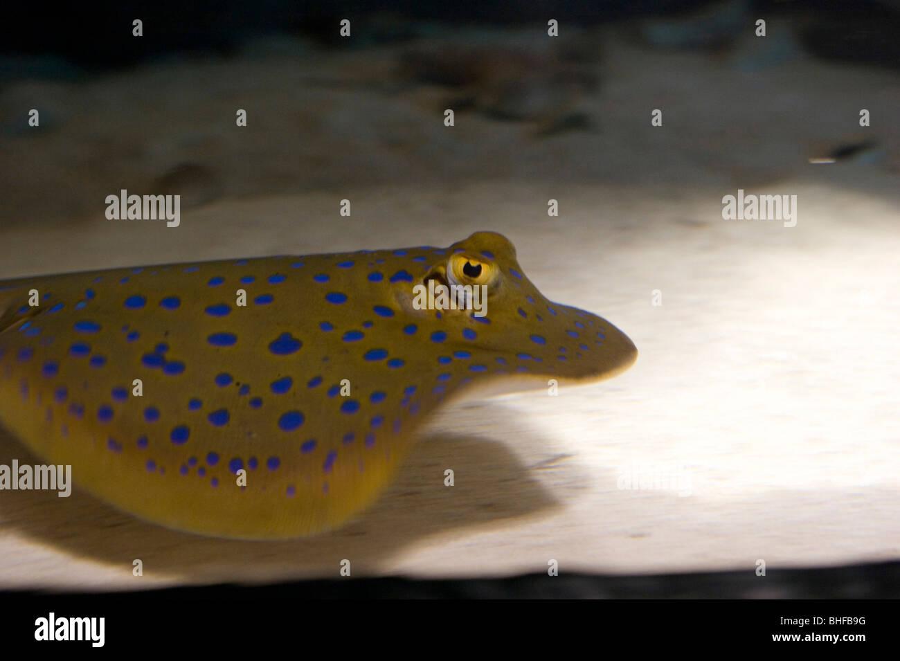 A stingray at the Reef HQ aquarium, Townsville, Queensland, Australia - Stock Image