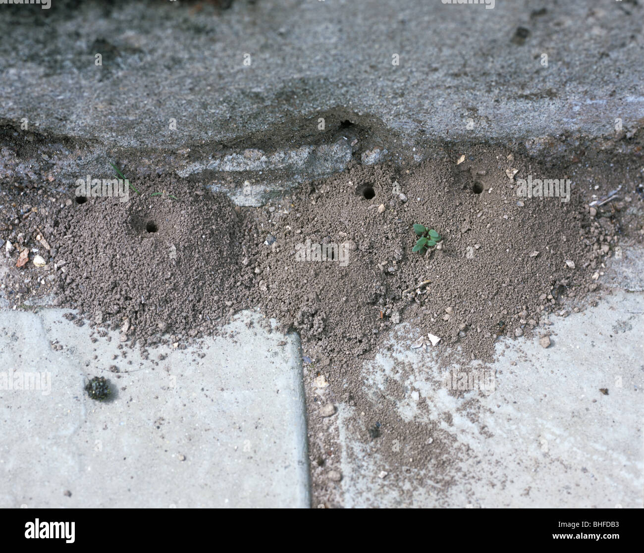 Mounds of a mining been (Andrena sp.) between paving stones, Devon, July Stock Photo