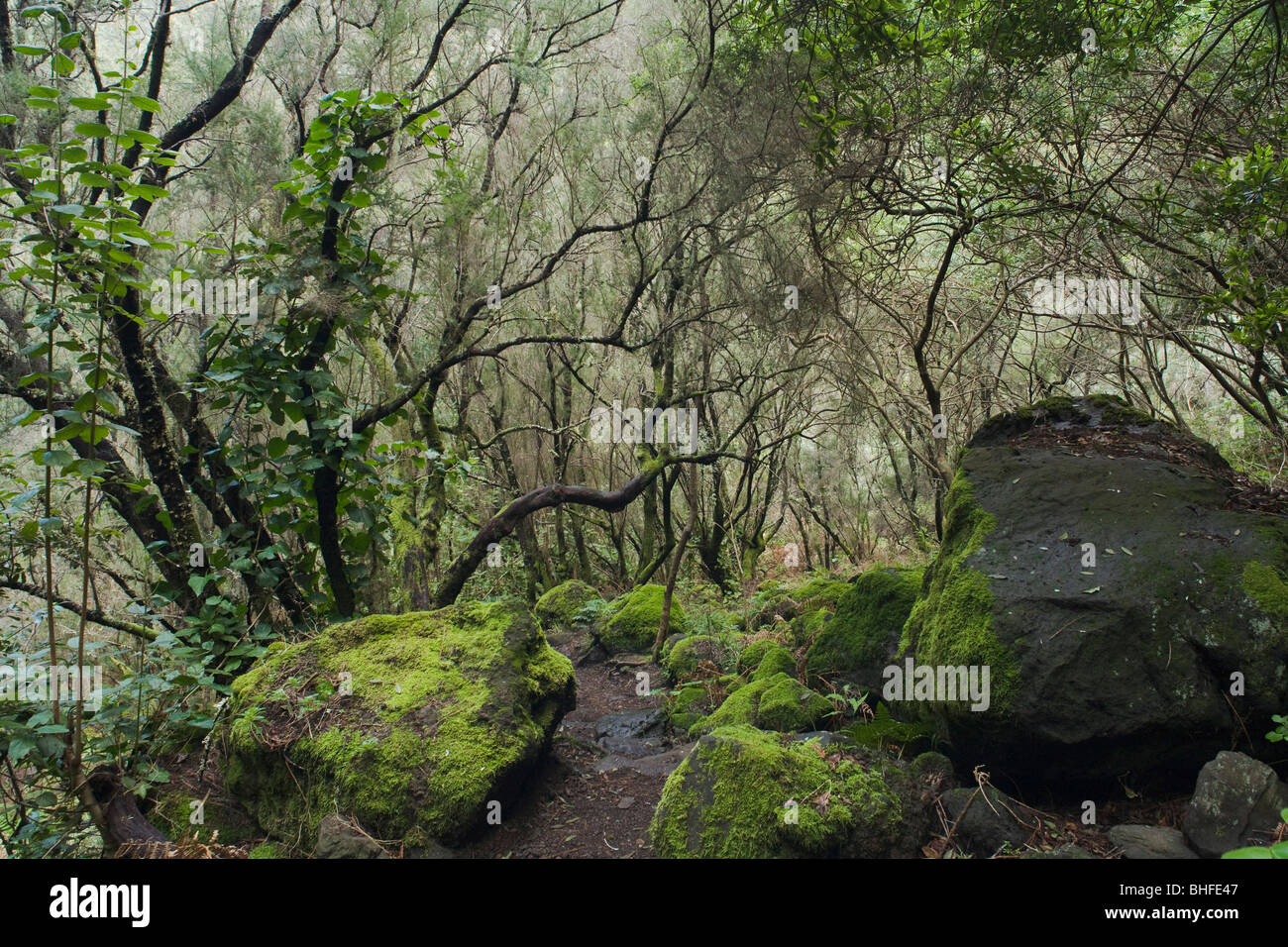 Path, trail through the humid subtropical laurel forest, Laurisilva, moos, Fuentes Marcos y Cordero, natural preserve, - Stock Image