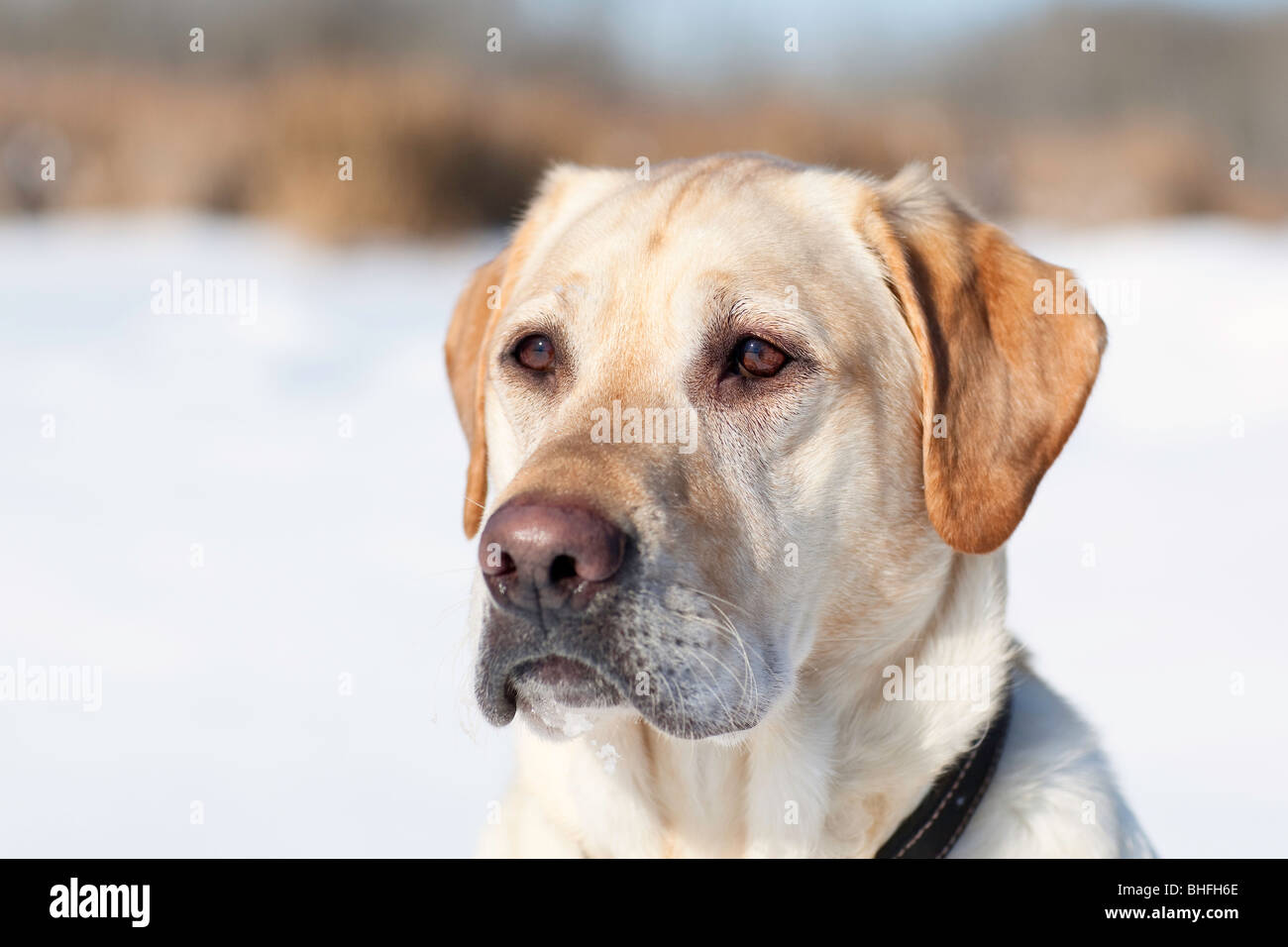 Adult male Yellow Labrador retriever in a winter setting.  Assiniboine Forest, Winnipeg, Manitoba, Canada. - Stock Image