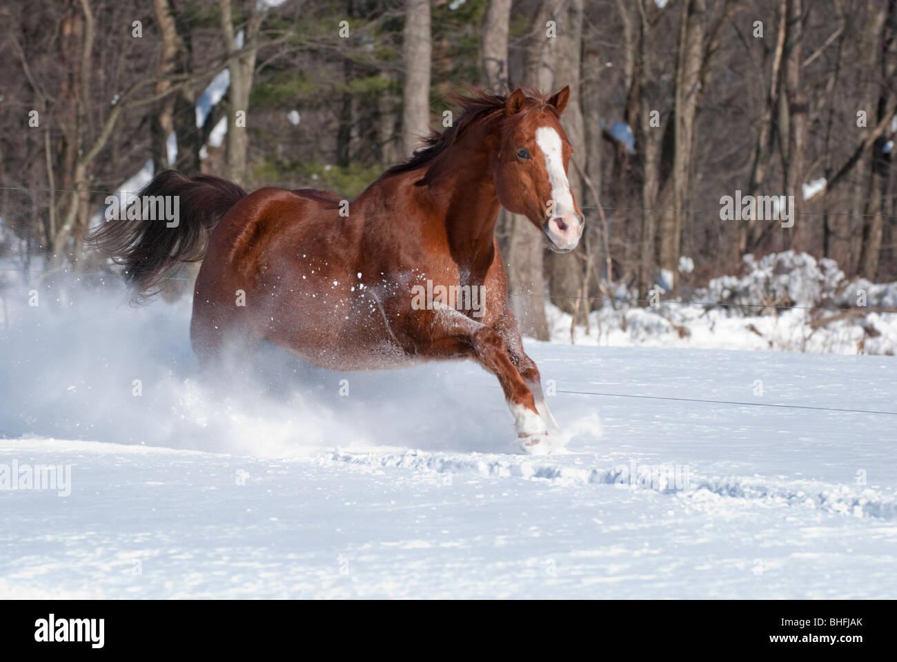 Picture of quarter horse gelding running in sunlight in new fallen snow. - Stock Image
