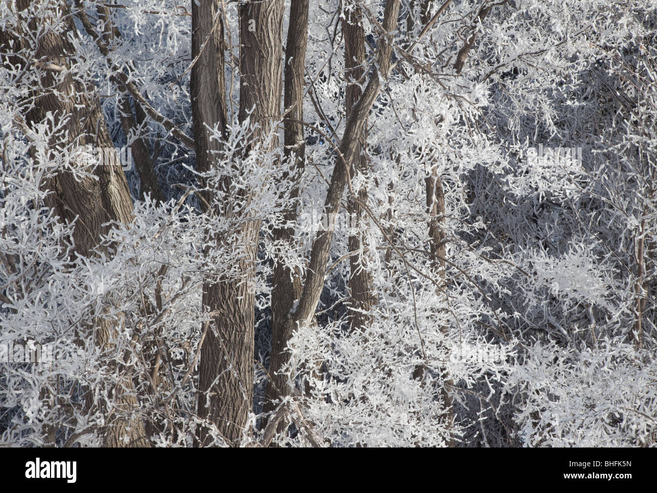 trees and hoarfrost, Winneshiek County, Iowa - Stock Image