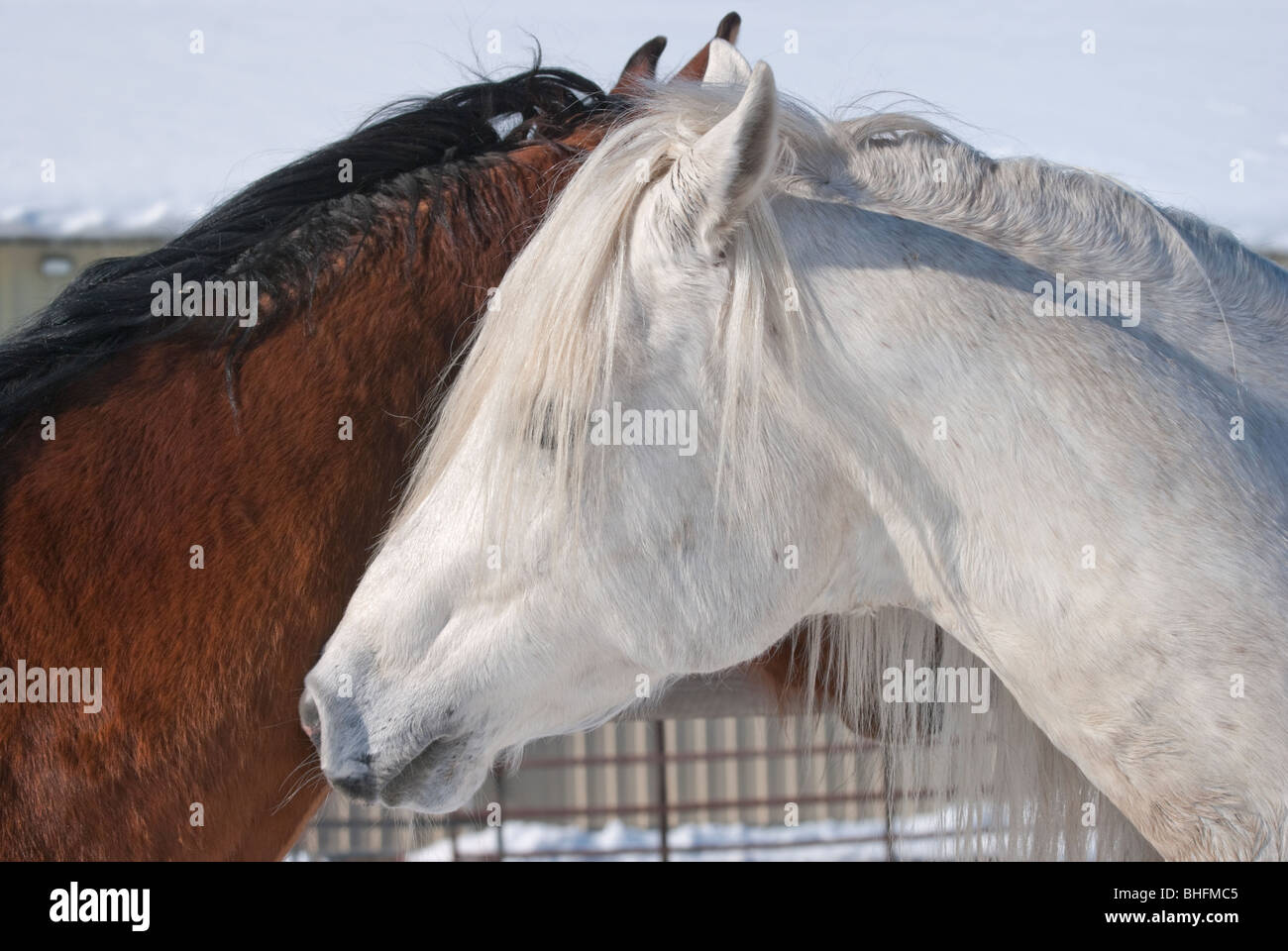 Picture of two horses nuzzling each other, whispering secrets to a friend. - Stock Image