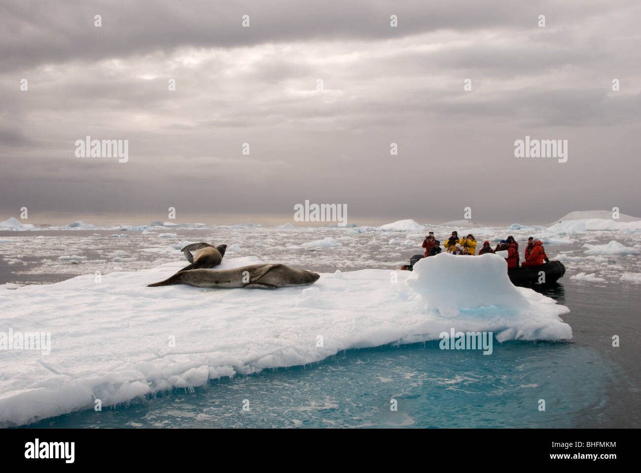 Tourists observe resting Leopard seals (Hydrurga leptonyx) on ice floes, Antarctic Peninsula. - Stock Image