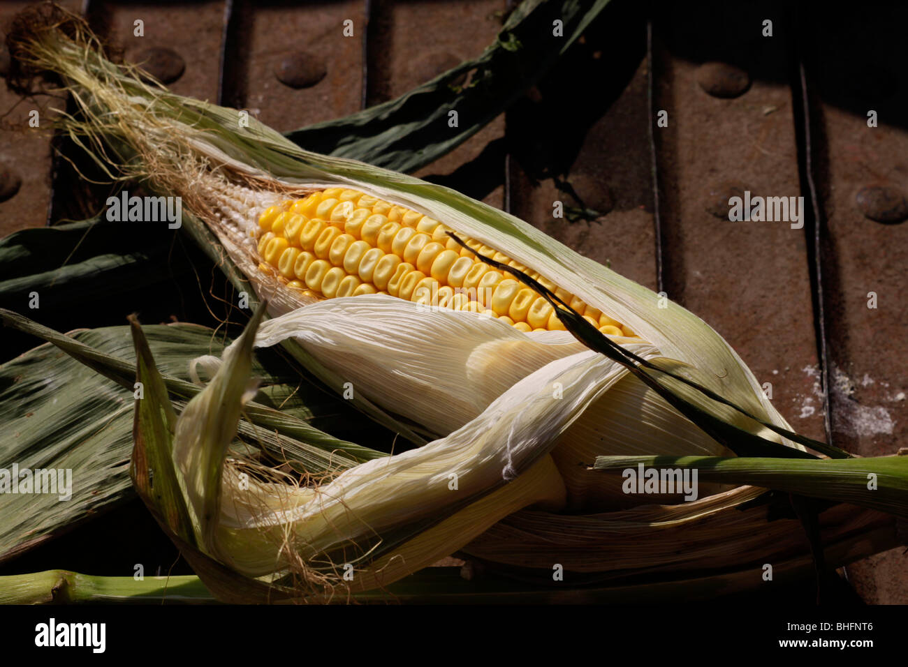 Ear of corn in husk at harvest time - Stock Image