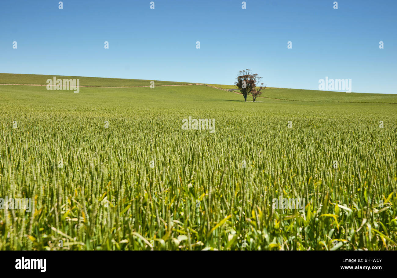 tree in fields of wheat in the countryside at burra south australia - Stock Image