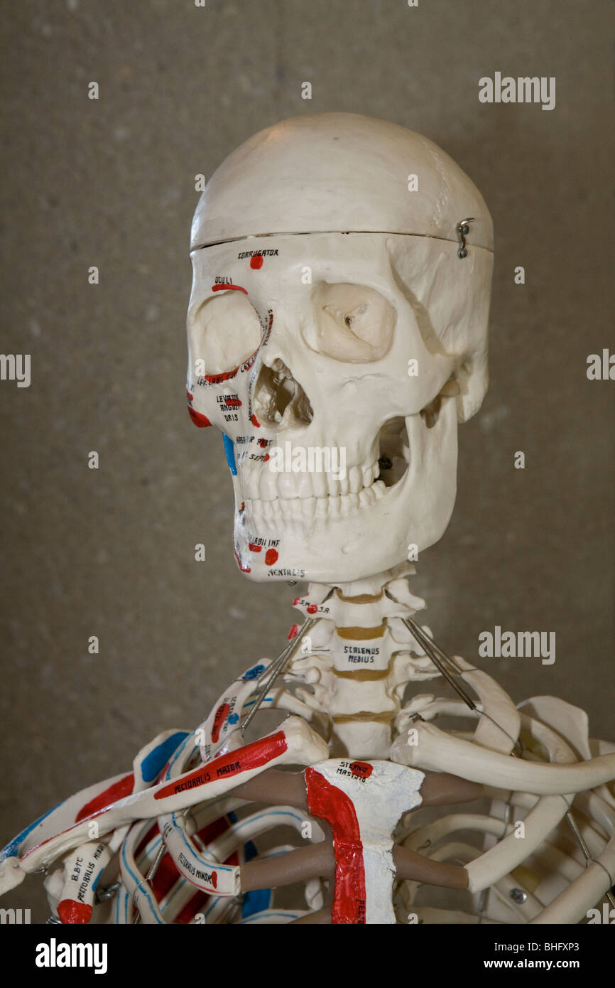 Human skeleton (model), labeled for key anatomical features Stock ...