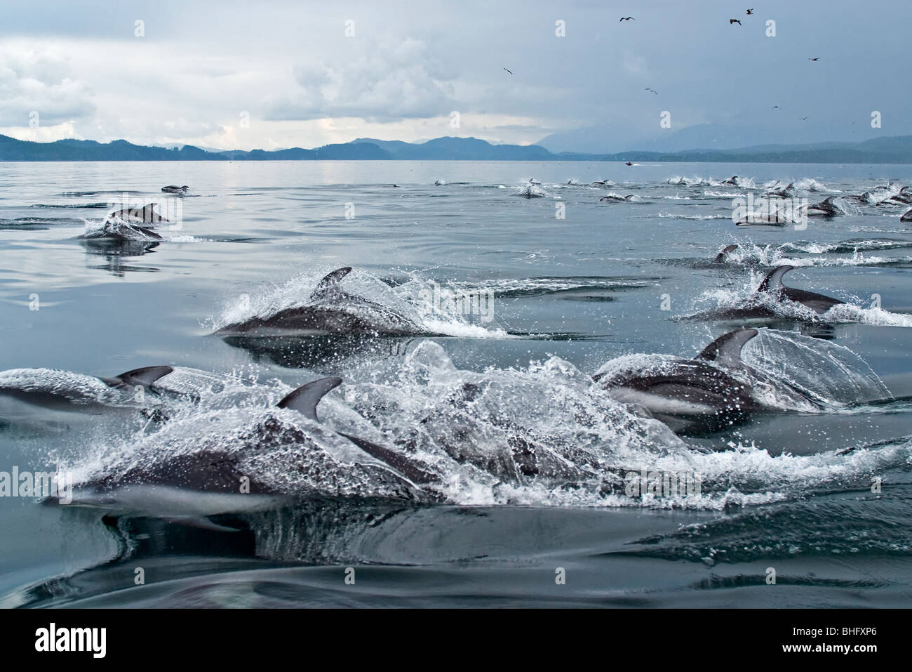 Pacific white sided dolphins in Queen Charlotte Strait, British Columbia, Canada. Lagenorhynchus obliquidens - Stock Image
