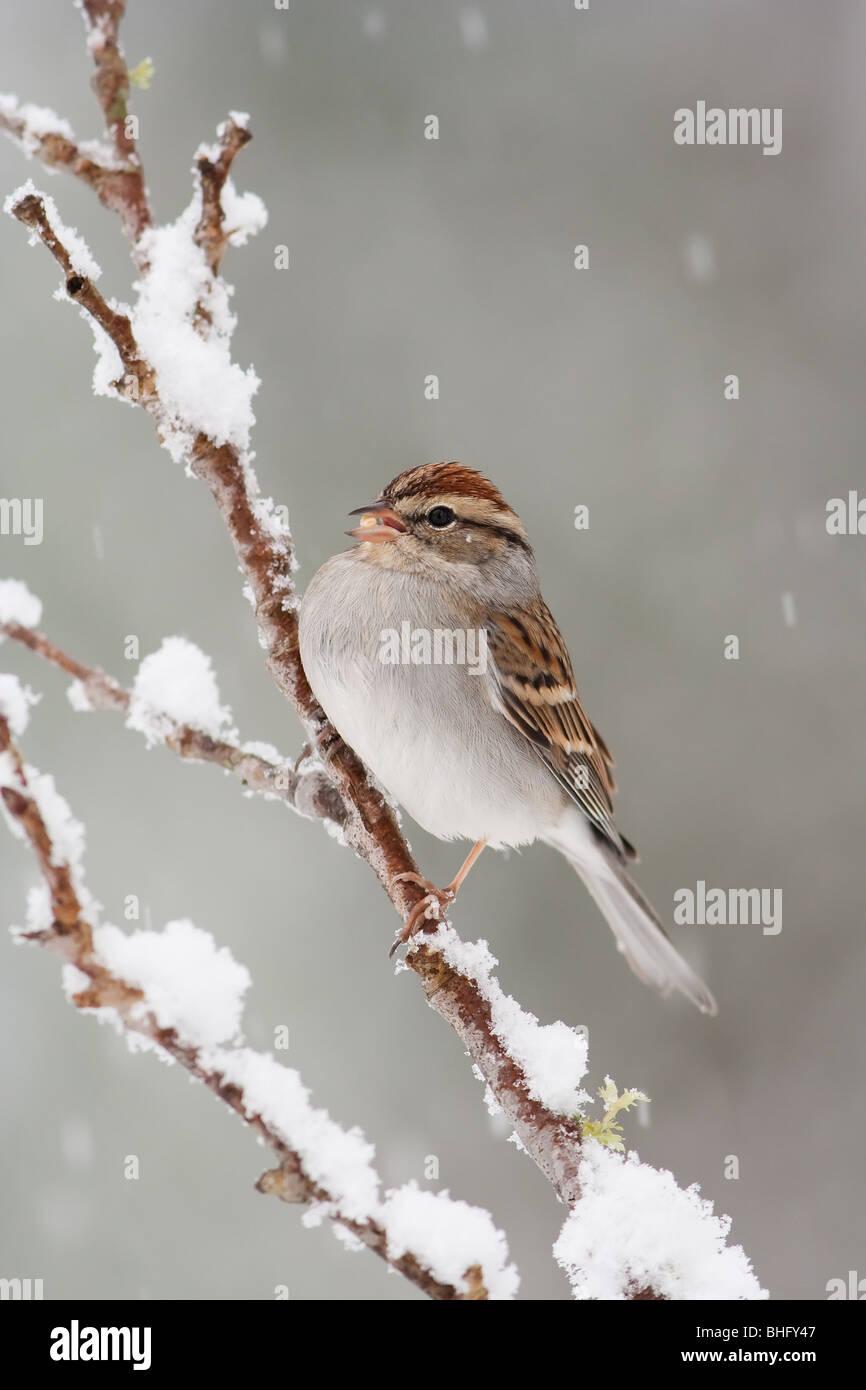 'Chipping Sparrow' 'Spizella passerina' - Stock Image