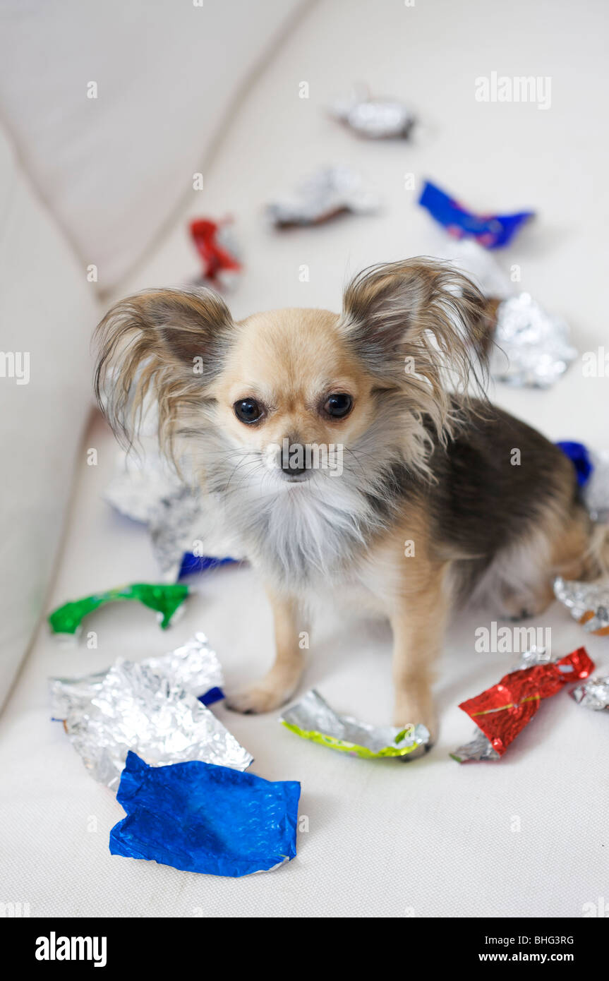 dog with sweet left-overs - Stock Image