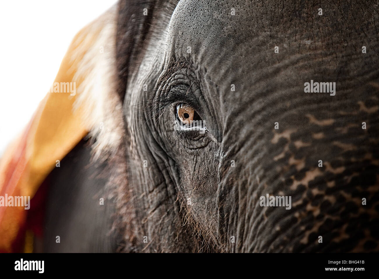 Close up of the eye of an elephant - Stock Image