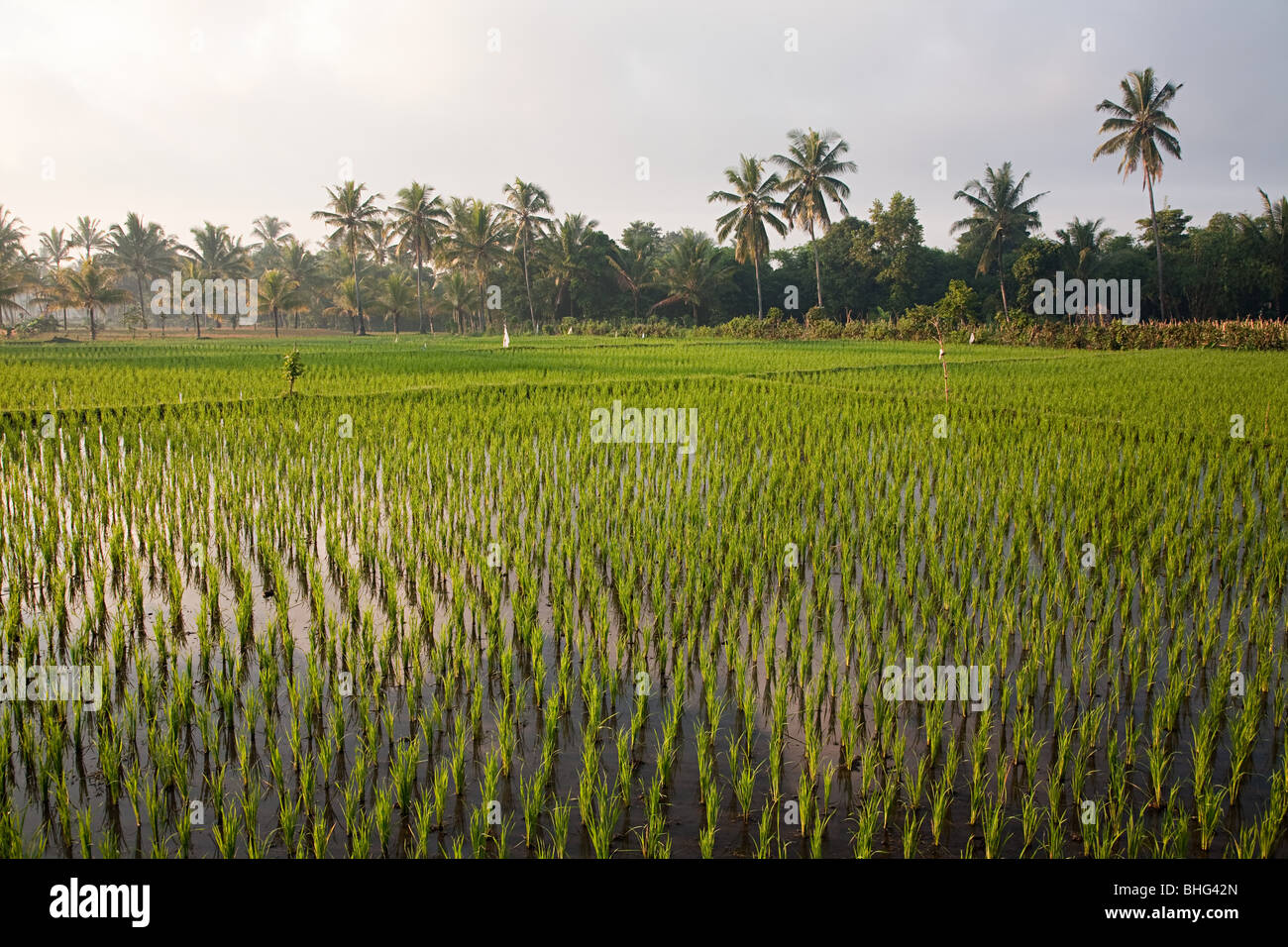 Rice field in lombok indonesia - Stock Image