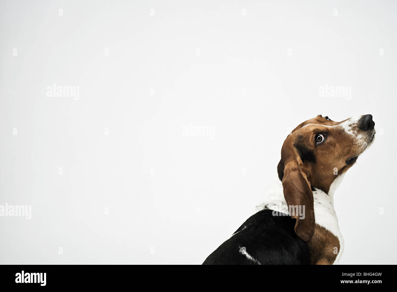 Basset hound Stock Photo: 28014361 - Alamy