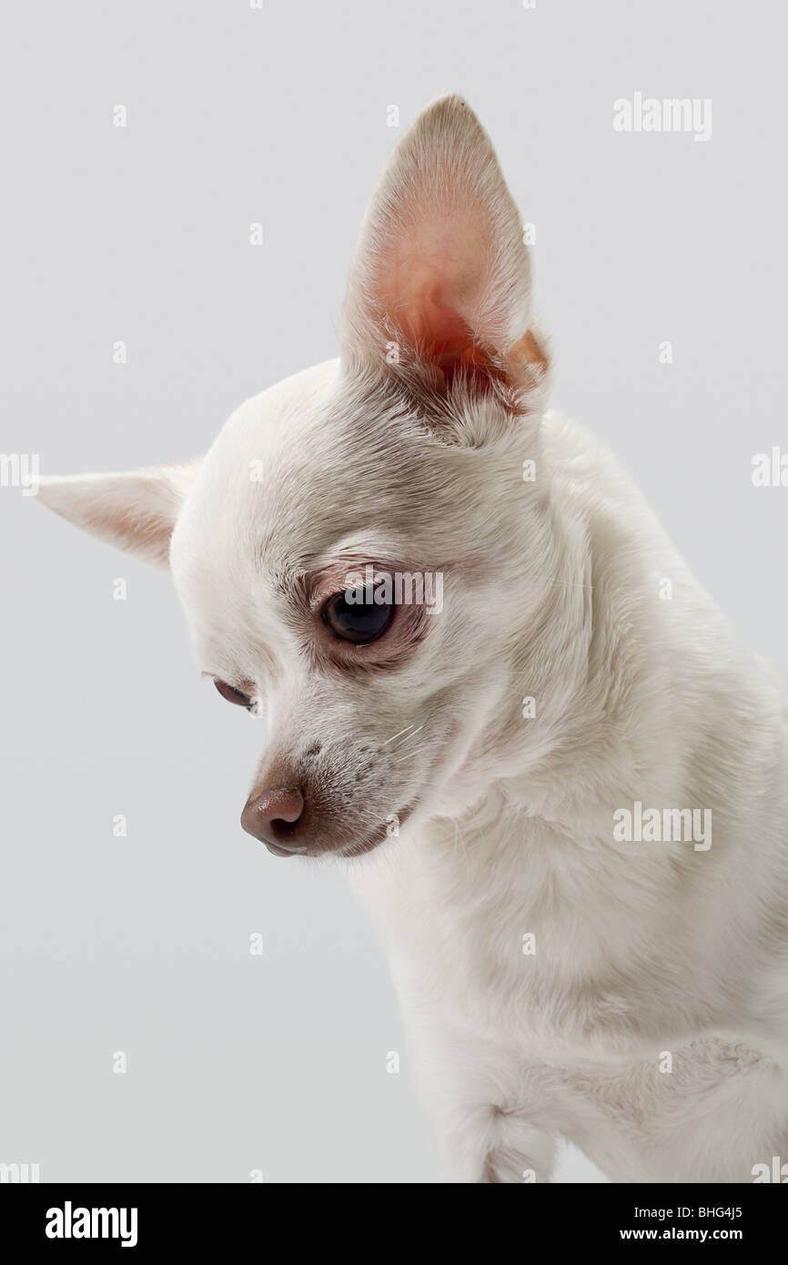 Chihuahua looking down - Stock Image