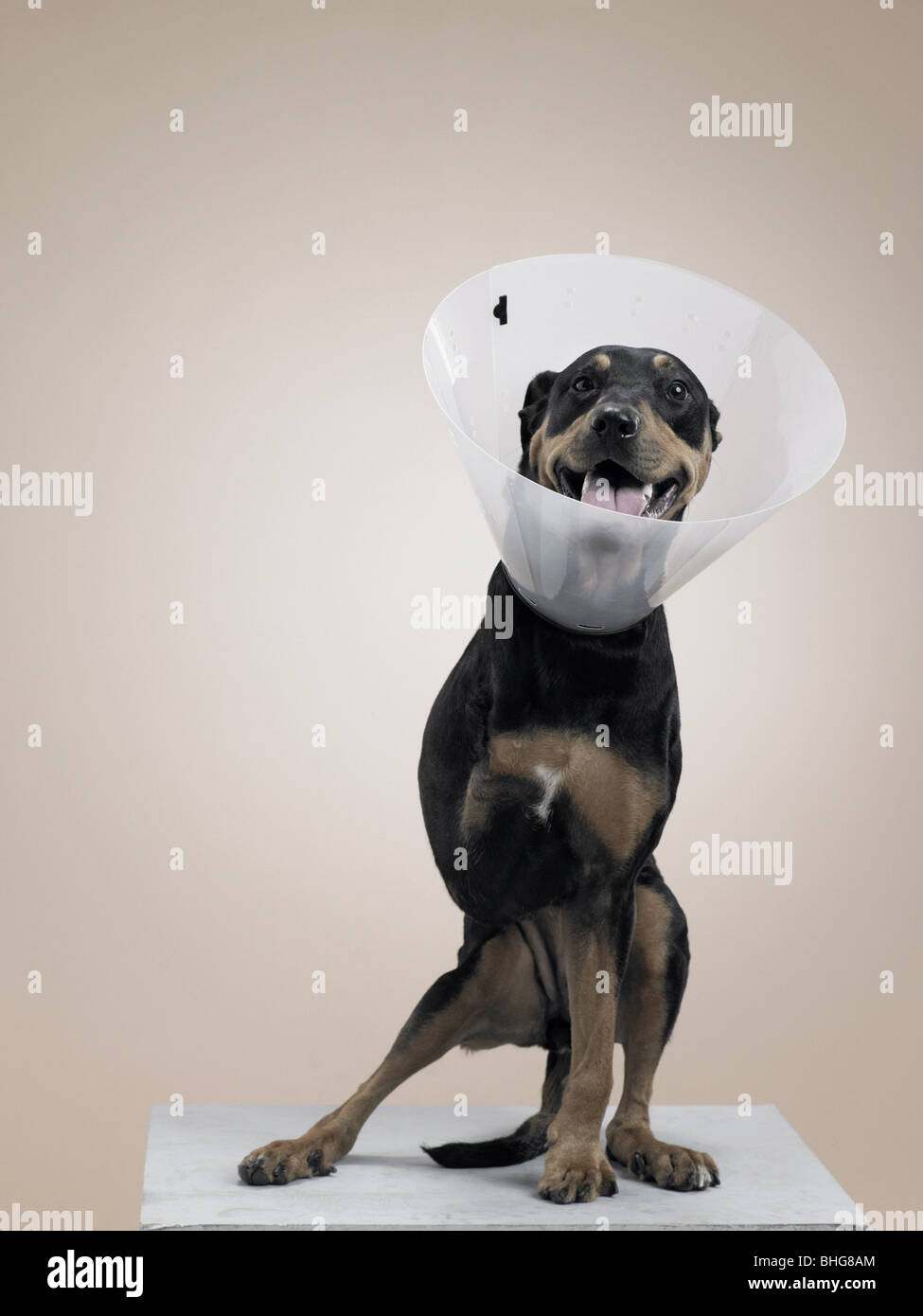 Dog in protective collar with a missing leg - Stock Image
