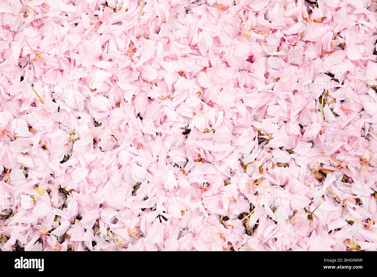 Pink petals - Stock Image