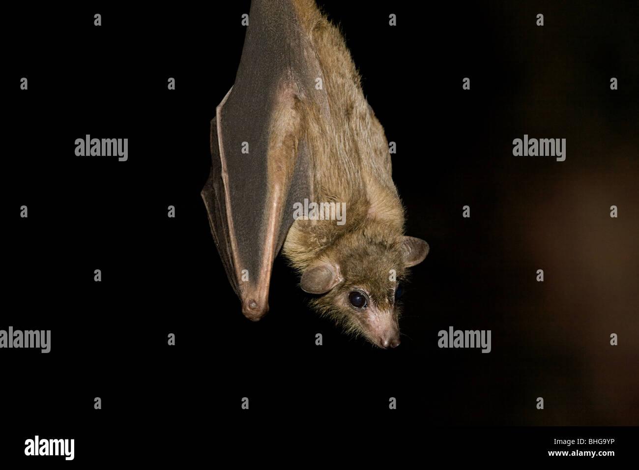 Egyptian Fruit Bat Stock Photo