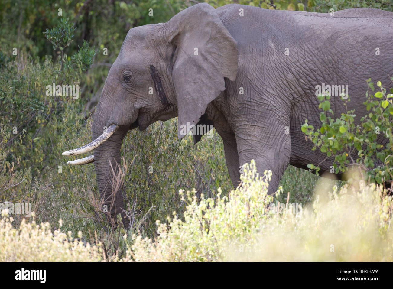 African Elephant  Loxodonta africana in profile as it emerges from the bushes in Lake Manyara, Tanzania, Africa - Stock Image
