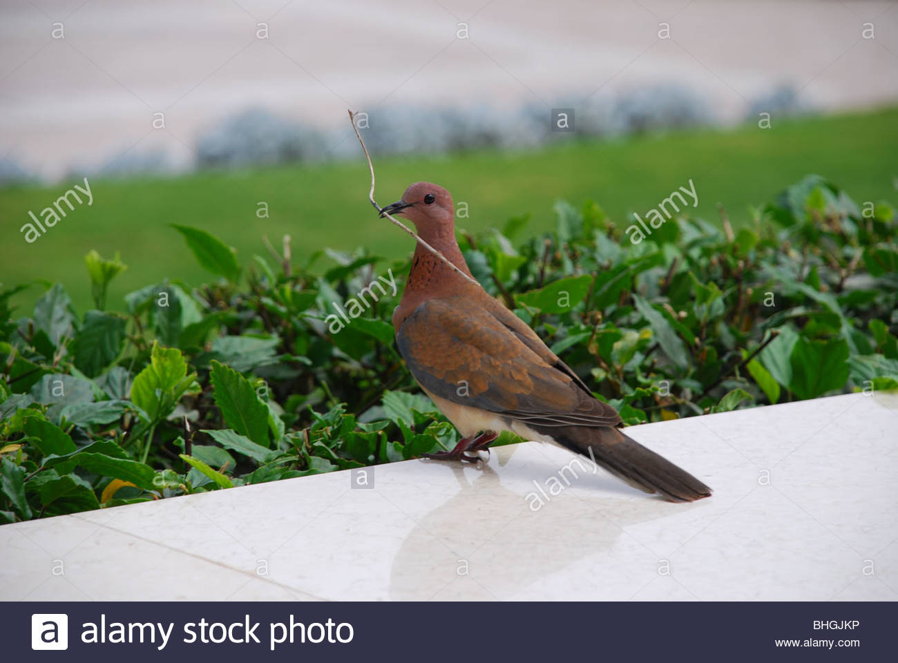 Pigeon with twig in mouth - Stock Image