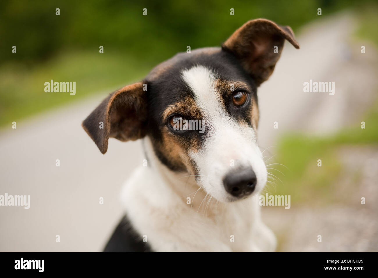 Portrait of an adorable little dog outdoor - Stock Image