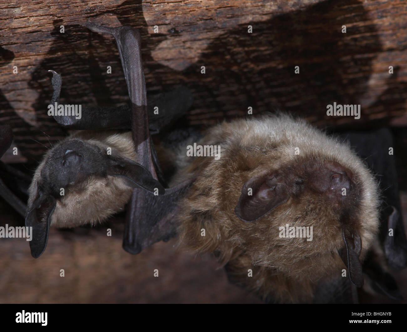 big brown bat maternity colony babies barn ohio - Stock Image