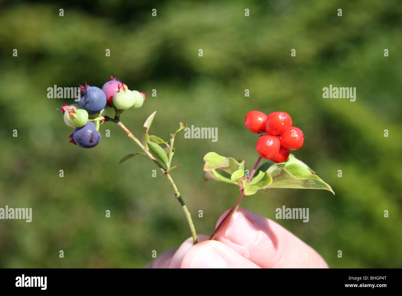 Wild blueberries & partridgeberries are found in abundance along paths on Gun Hill, Harbour Breton, Newfoundland - Stock Image