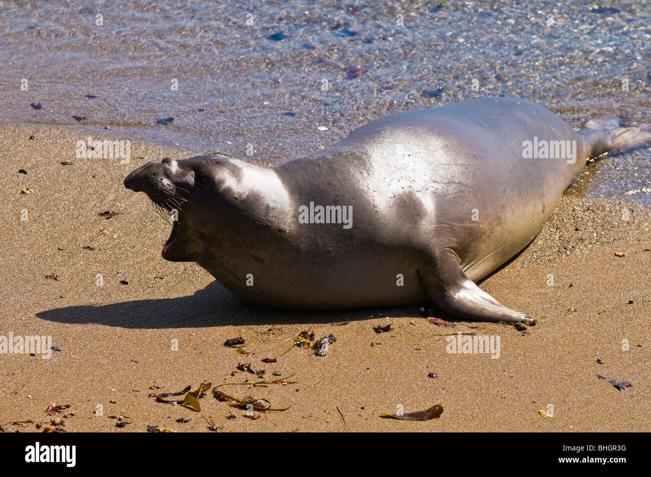 Elephant Seal (Mirounga angustirostris), Monterey Bay National Marine Sanctuary, San Simeon, California Stock Photo