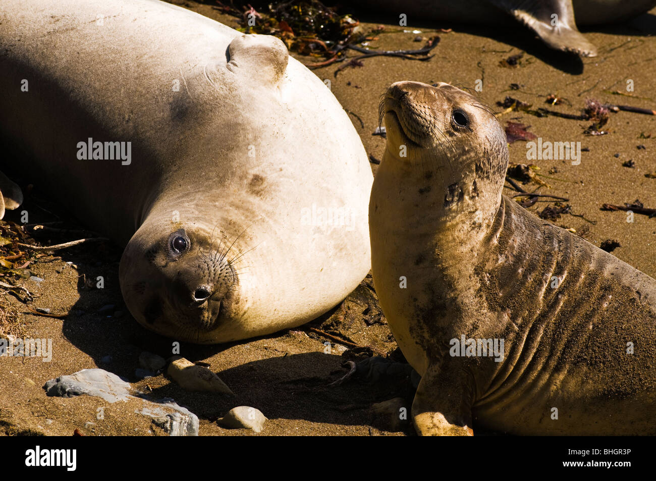 Elephant Seals (Mirounga angustirostris), Monterey Bay National Marine Sanctuary, San Simeon, California Stock Photo