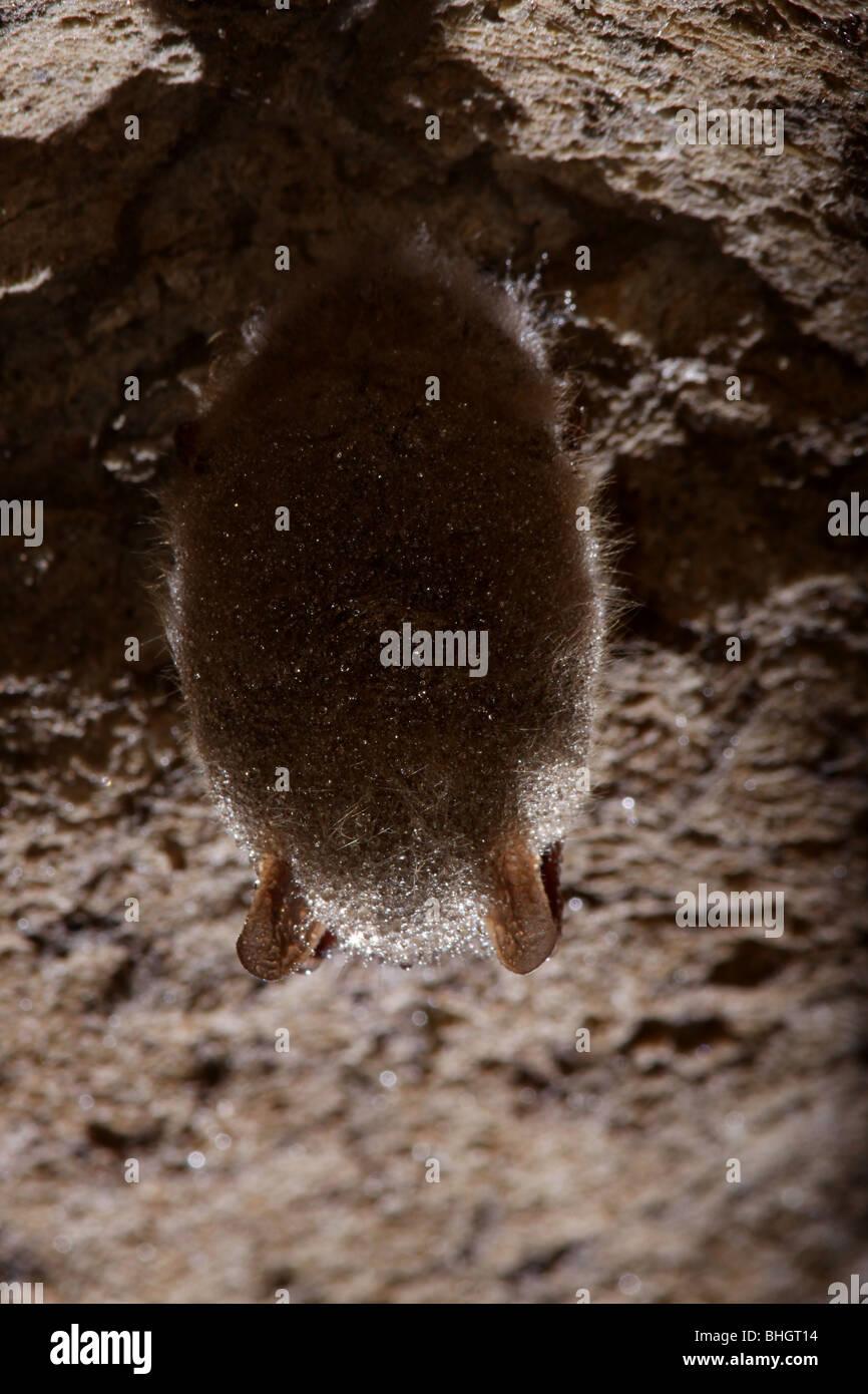 tri-colored bat eastern pipistrelle hibernate cave - Stock Image