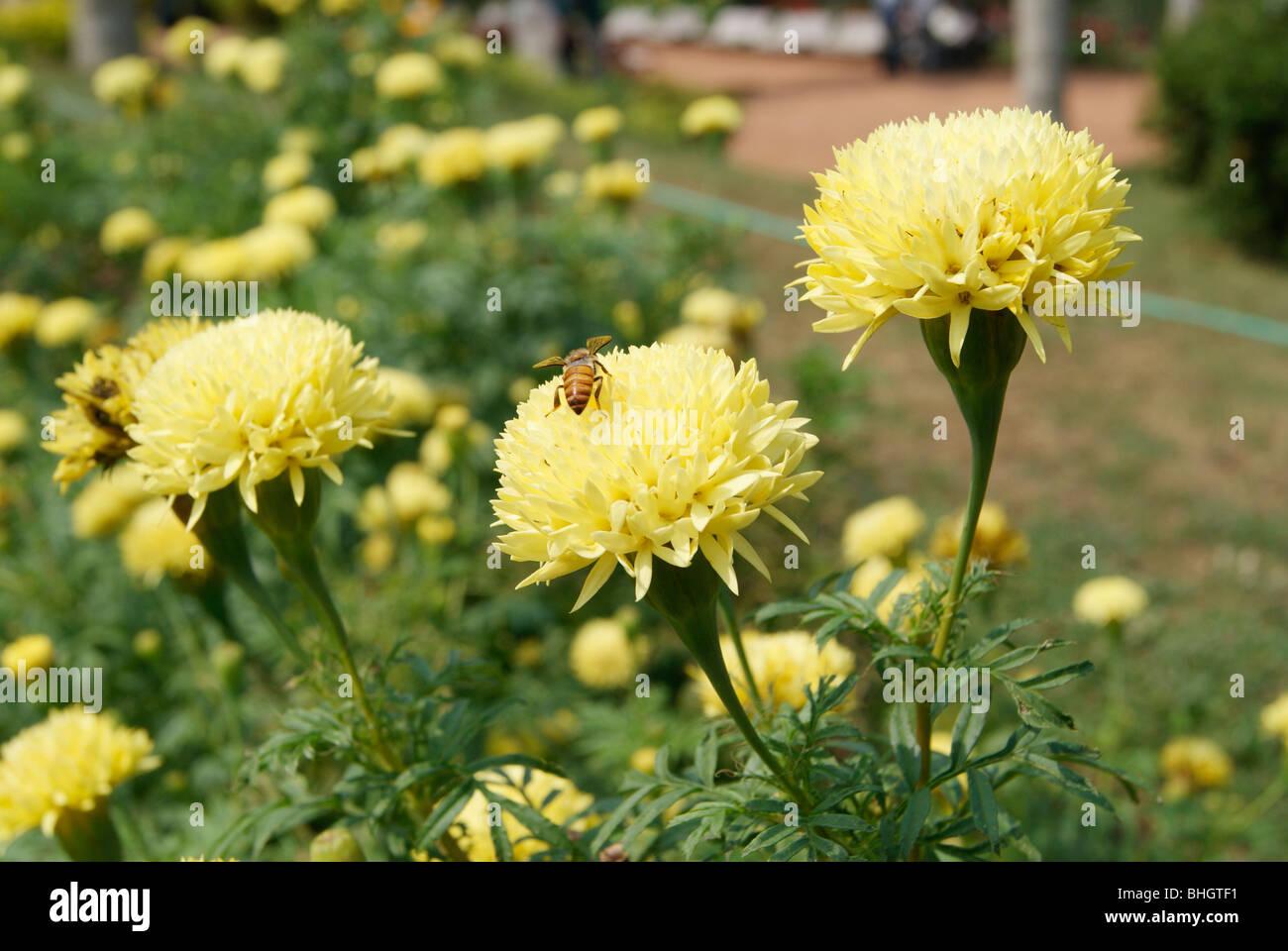 Flowers Of Kerala Stock Photos Flowers Of Kerala Stock Images Alamy