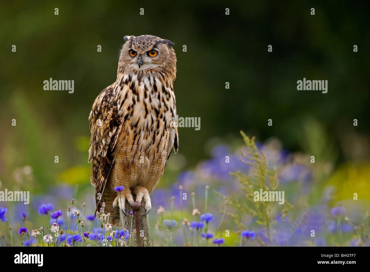 Tawny Owl Strix aluco sitting on fencepost - Stock Image