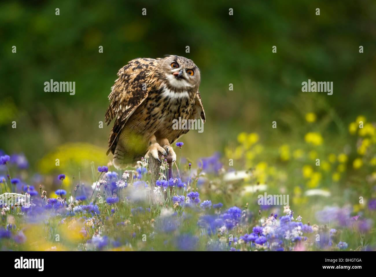 Tawny Owl Strix aluco; sitting on fencepost. - Stock Image