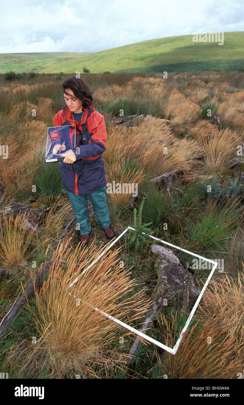 Ecologist on Dartmoor National park assesses transition to heathland from conifer plantation edge of Dendles Wood - Stock Image