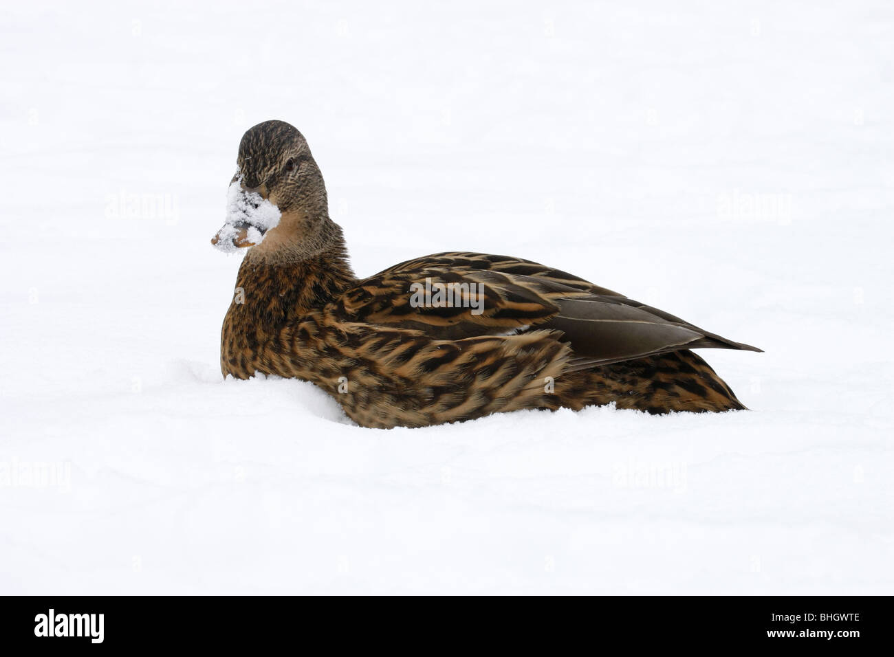 female mallard duck over snow - Stock Image
