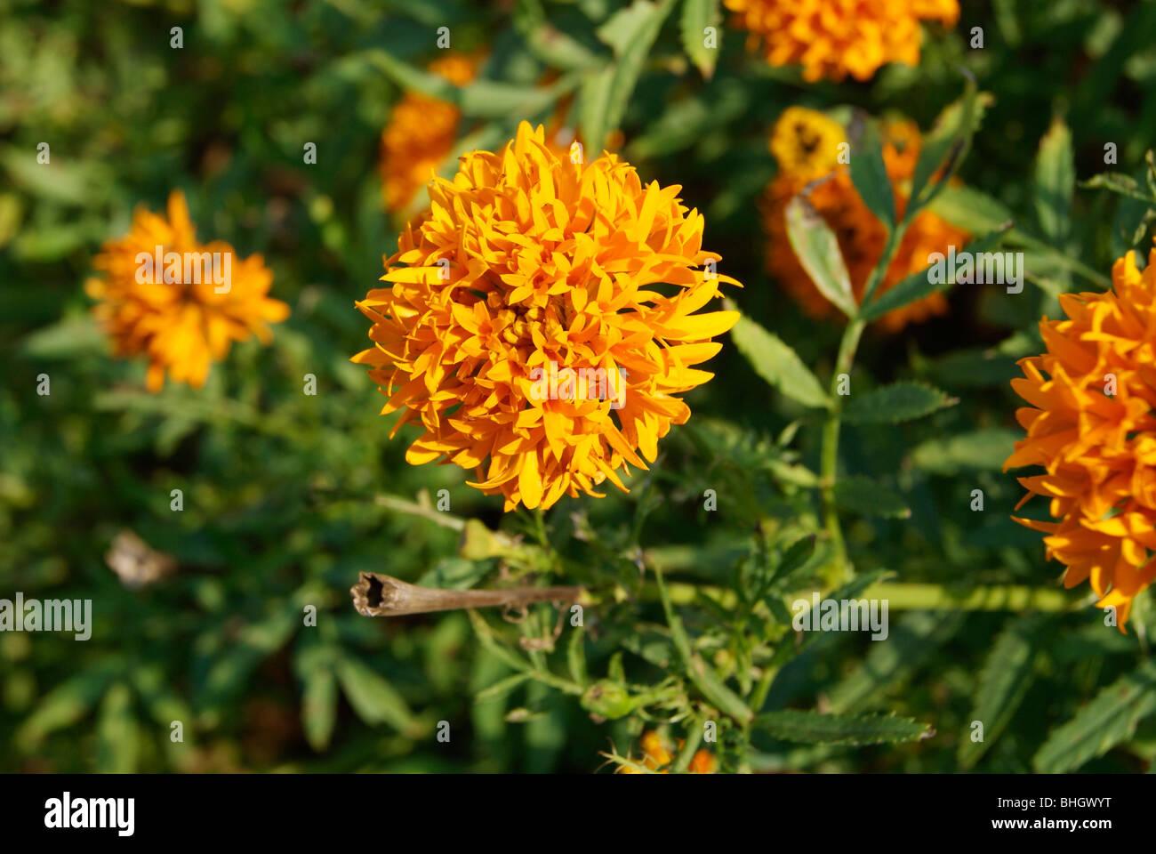 Chrysanthemum Orange Flower Jamanthi Poovu In Malayalam Language