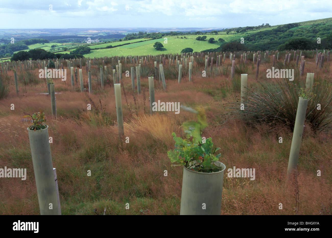 Habitat restoration from conifer plantation to western sessile oak at the edge of Dendles Wood NNR - Stock Image