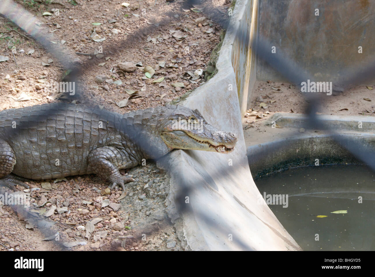 Crocodile Taking Rest in Side of Artificial concrete Water Tank at Trivandrum Zoo at kerala,India - Stock Image