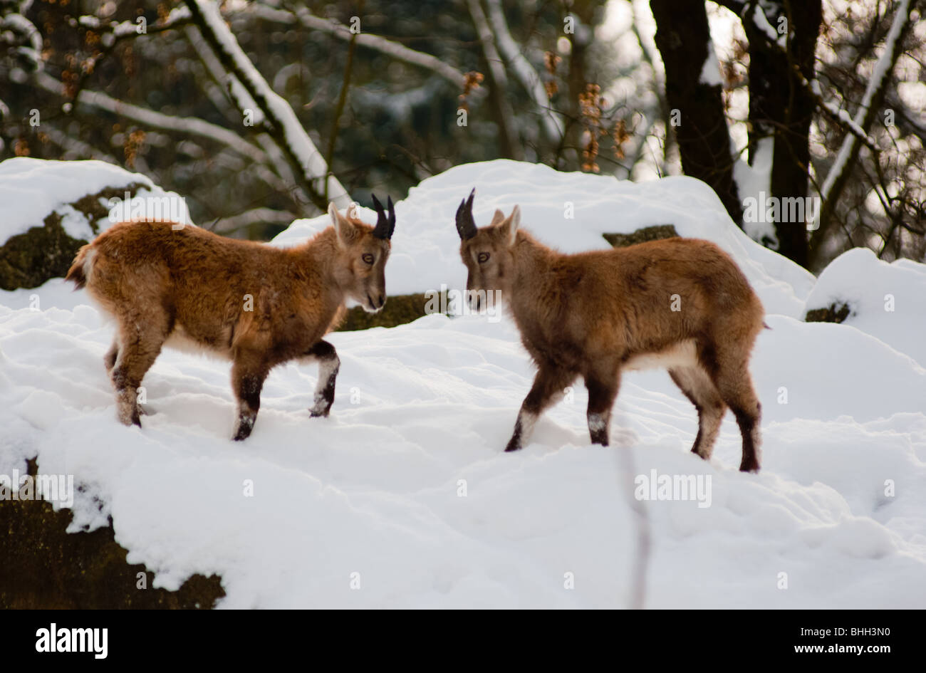 Two young Ibex interacting - Stock Image