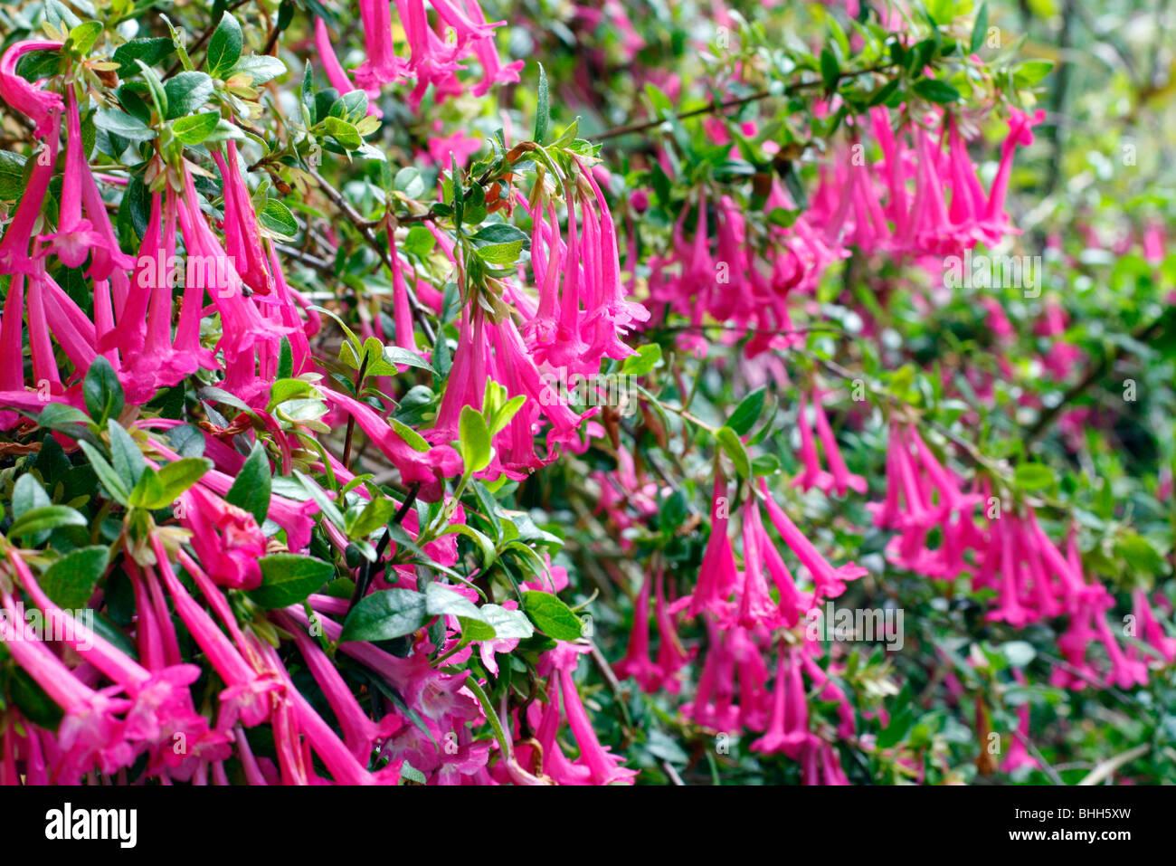 Abelia Stock Photos Abelia Stock Images Page 3 Alamy