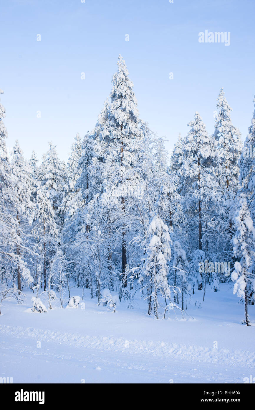 Wintry forest, Sweden. - Stock Image