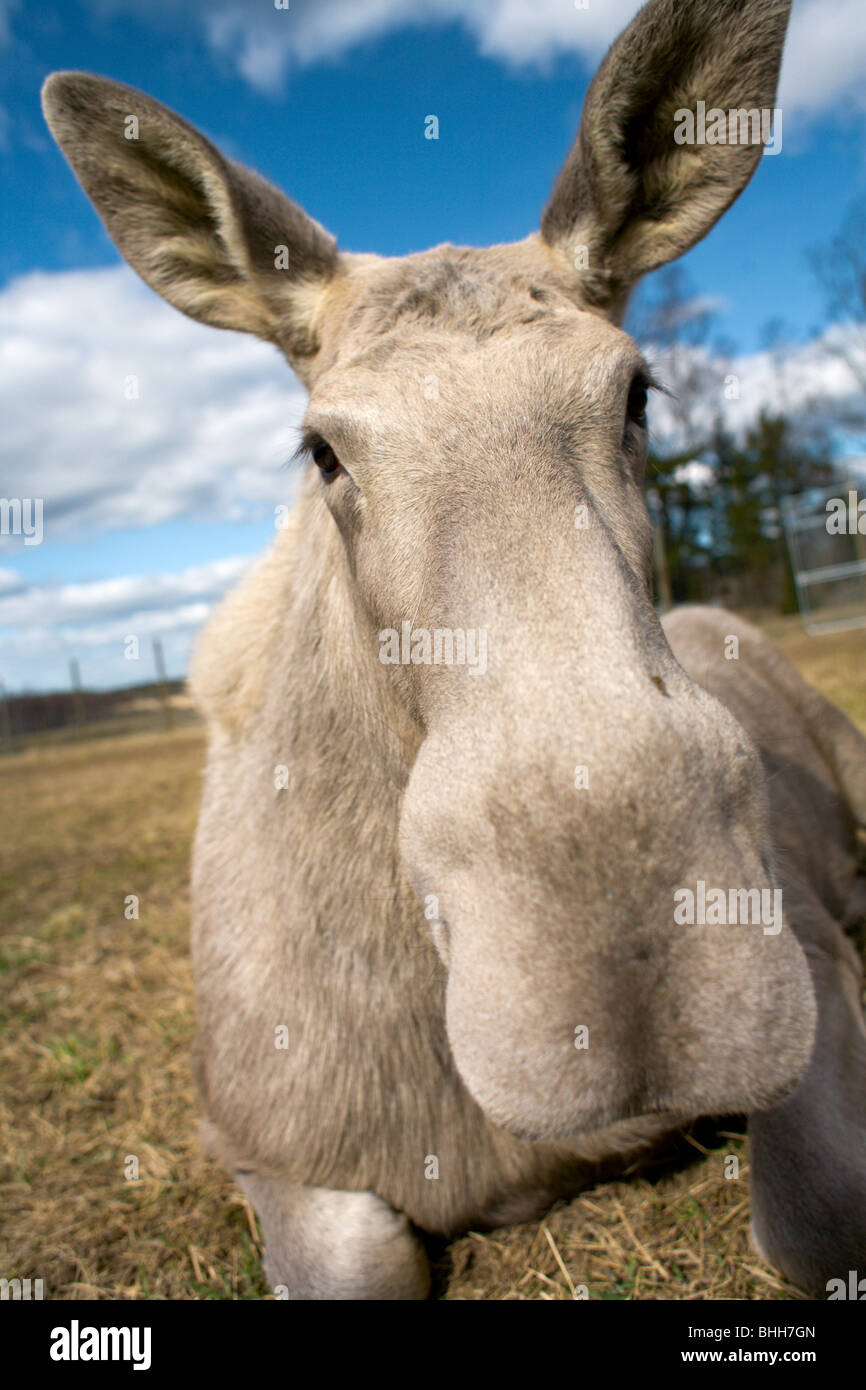 Moose on a field, Sweden. - Stock Image