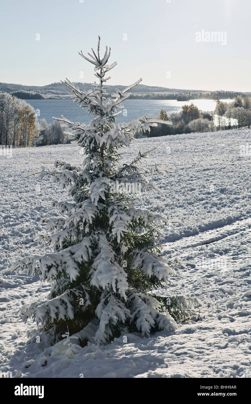 Snow covered fir tree in winter, sweden. - Stock Image