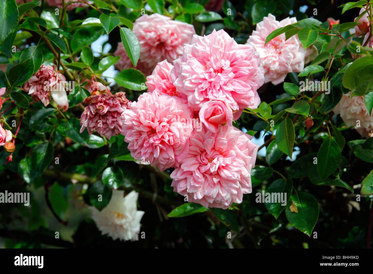 Rosa 'Paul Transon' AGM Rambler Rose - Stock Image