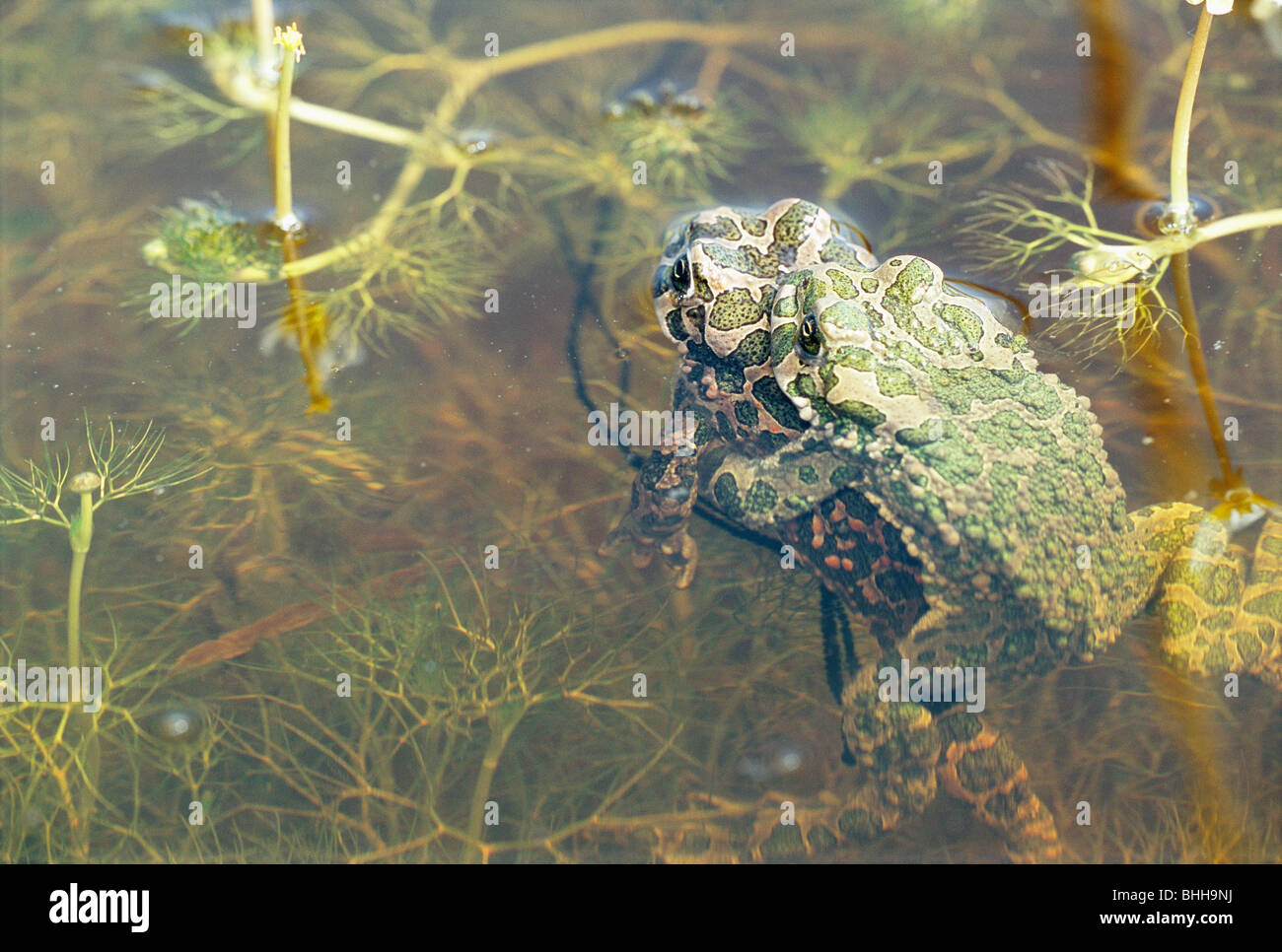 Mating scene with toads, Sweden. - Stock Image