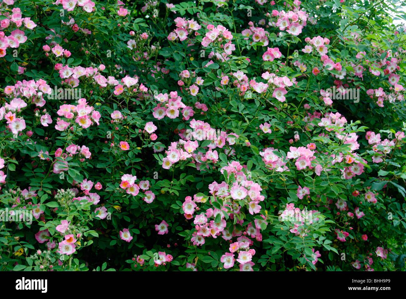 Rosa 'Kew Rambler' - Stock Image