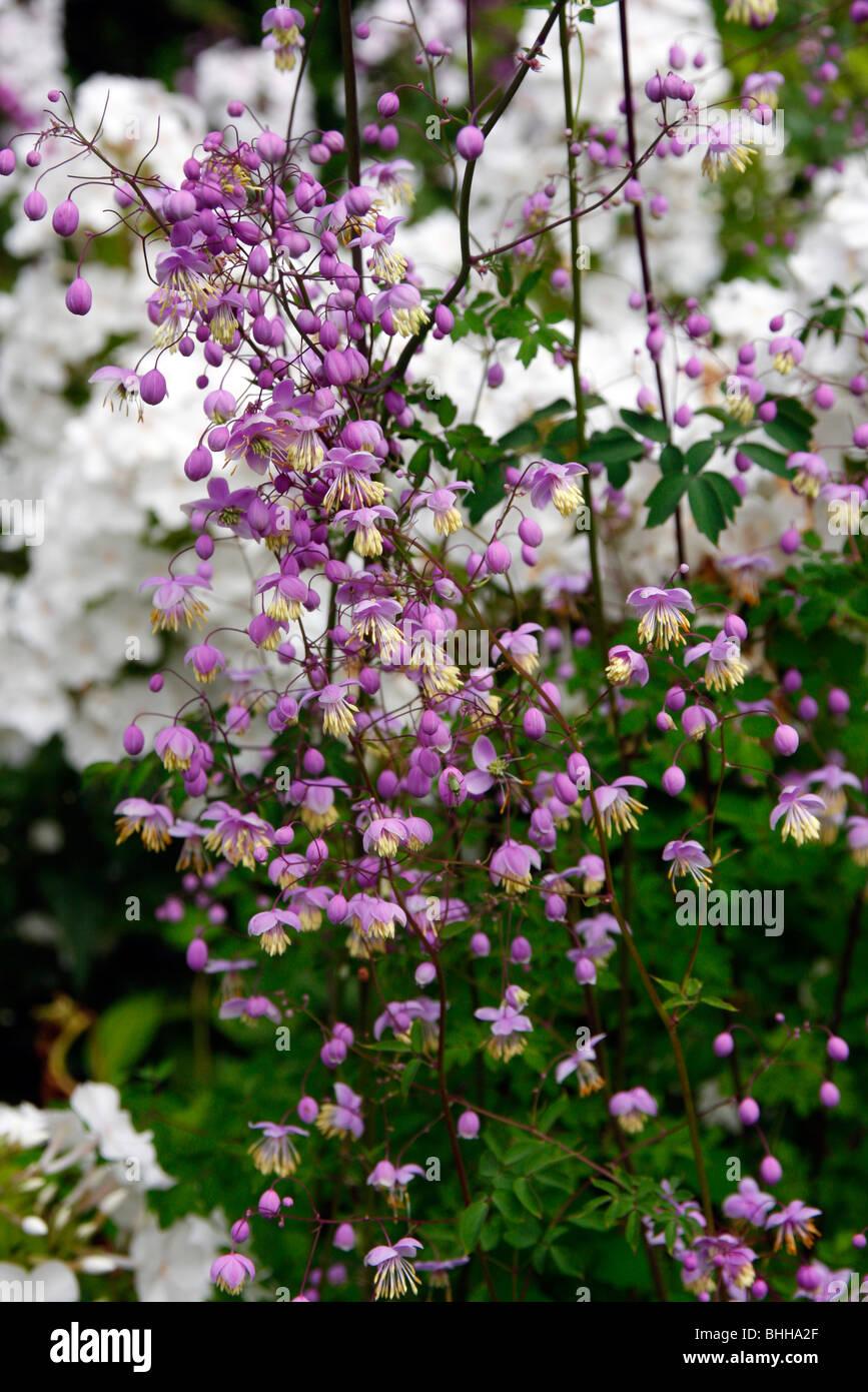 Thalictrum dipterocarpum syn Thalictrum delaveyi - Stock Image