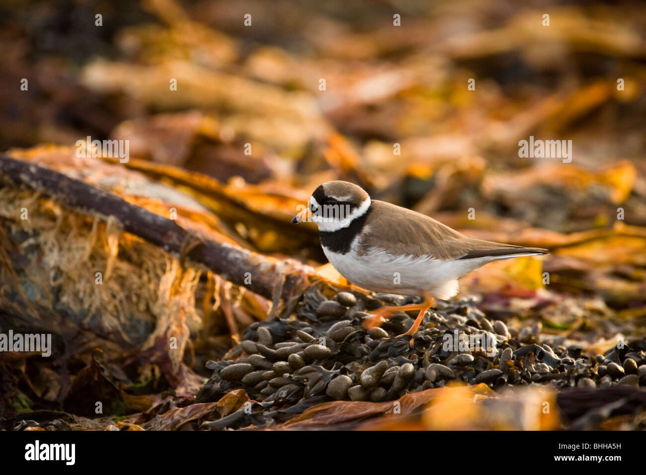 A Ringed Plover looking for food, Norway. - Stock Image