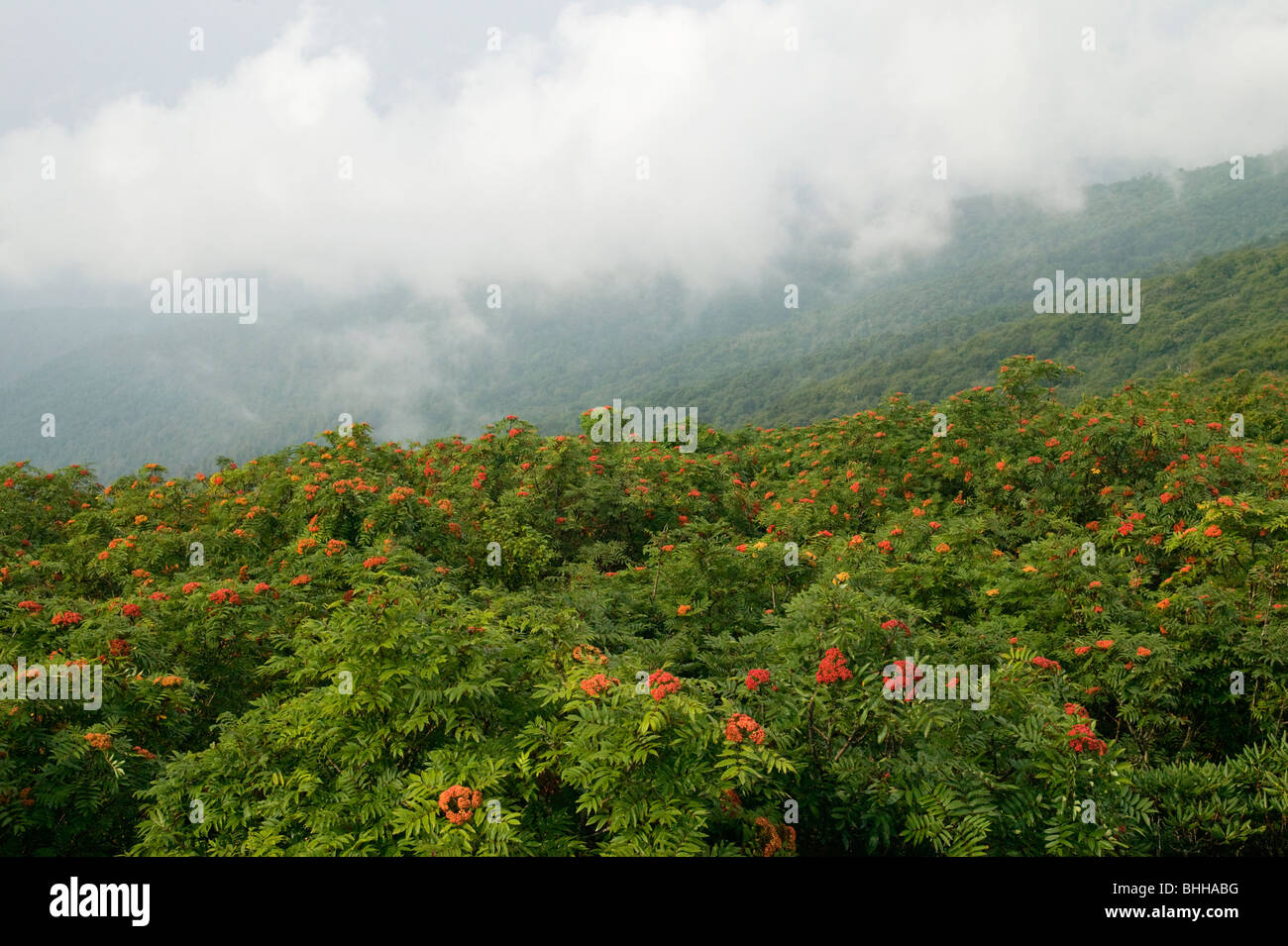 Mountains and American Mountain-ash, Craggy Gardens, North Carolina, USA. - Stock Image