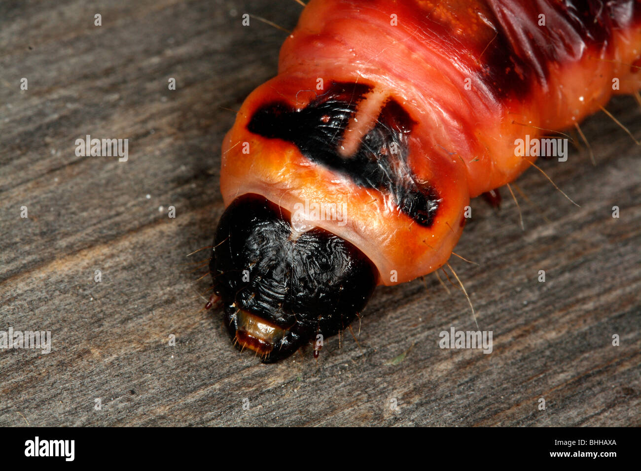Goat Moth caterpillar, close-up, Sweden. Stock Photo