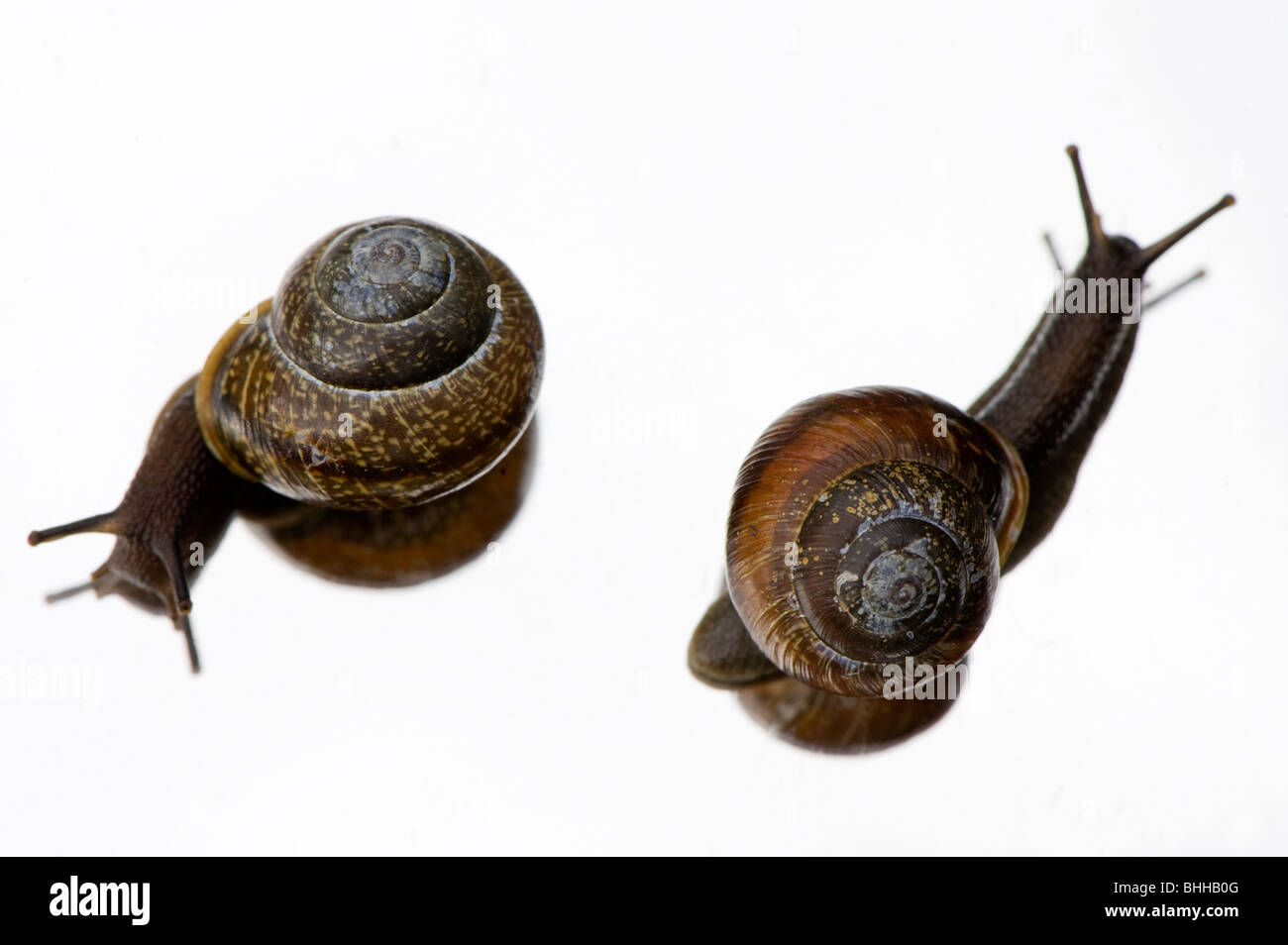 Snails on a mirror, close-up, Sweden. - Stock Image